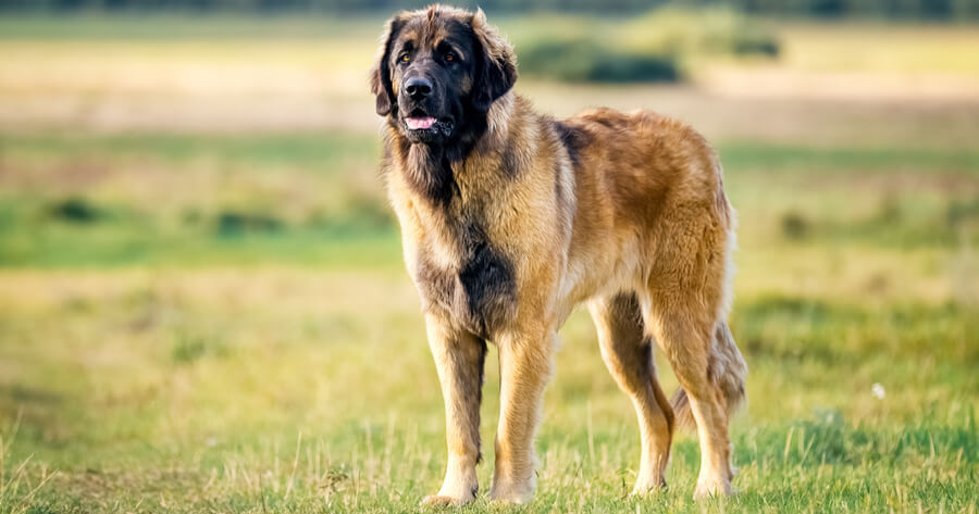 leonberger standing in field