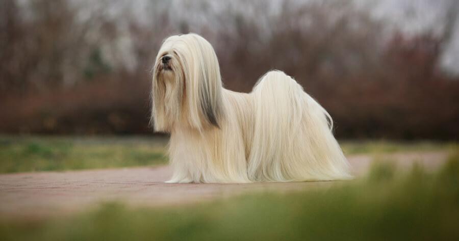 The Lhasa apsos dog