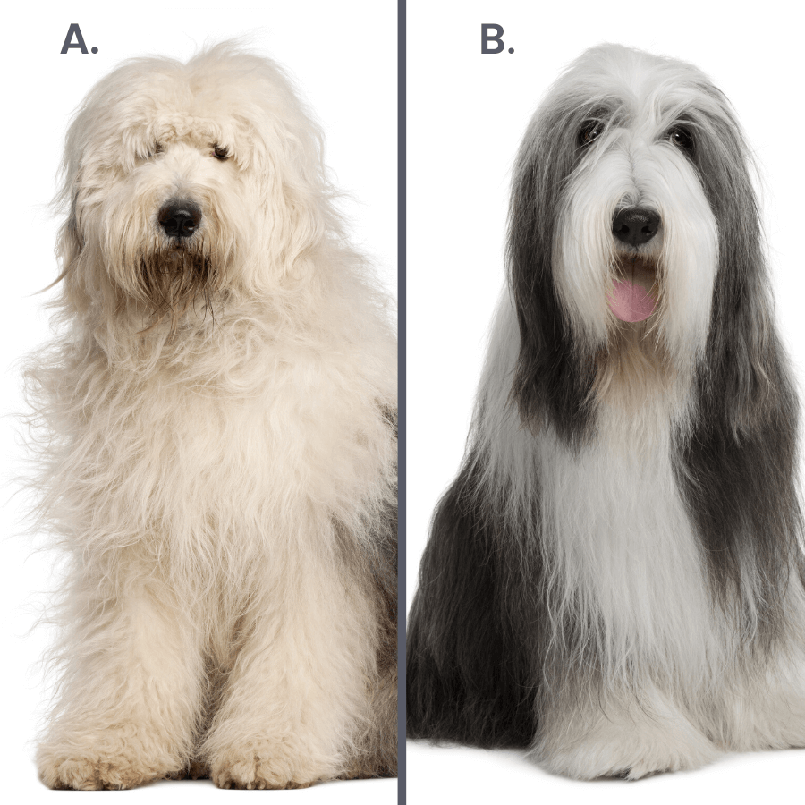 old english sheepdog and bearded collie on white background