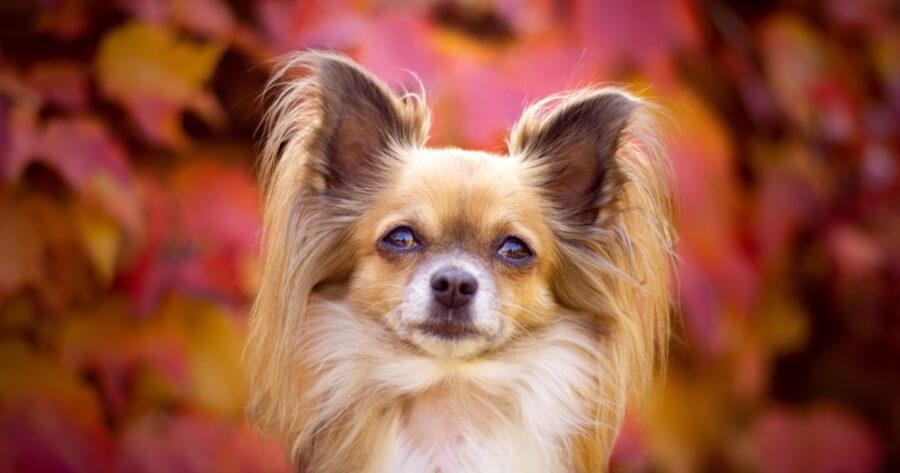 The Papillon dog