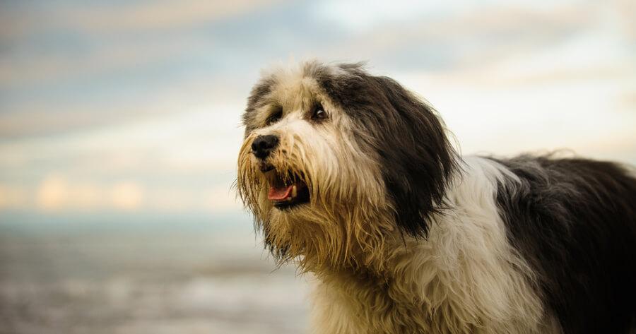 The Polish Lowland sheepdog dog