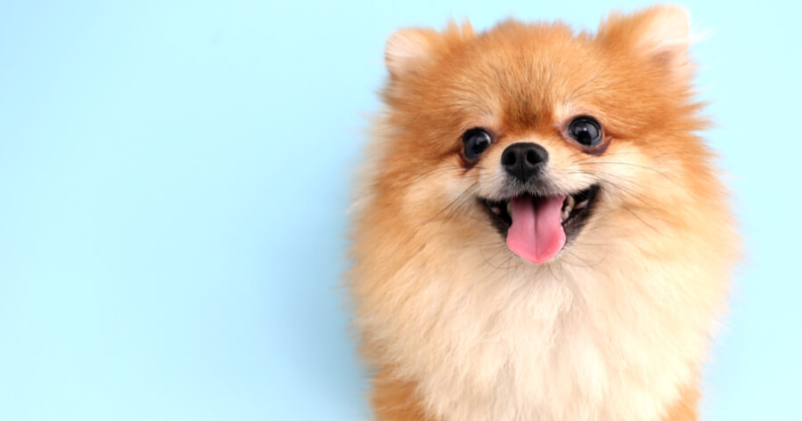 pomeranian in front of blue background