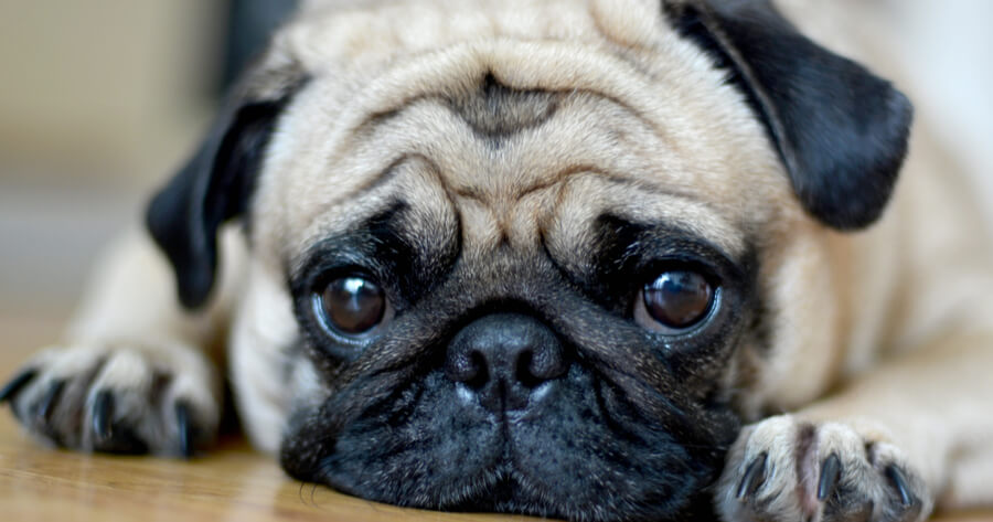 Pug resting head on ground