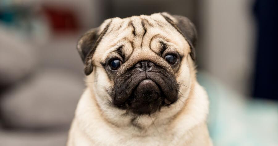 The Pug dog