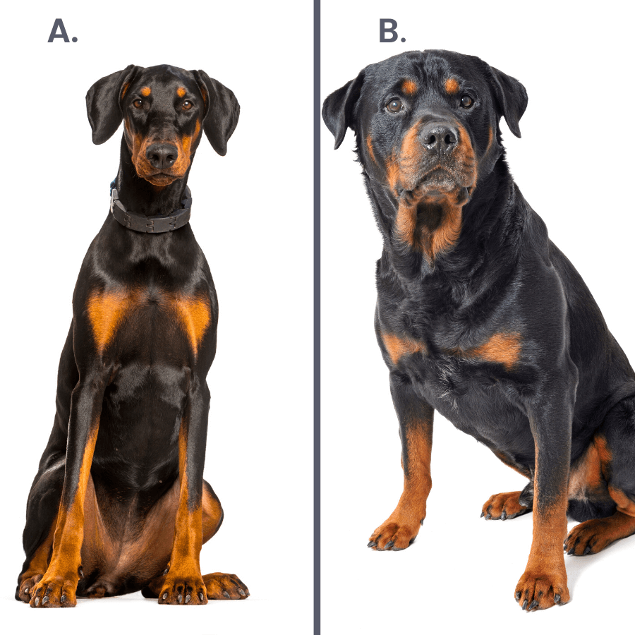 rottweiler and doberman on white background