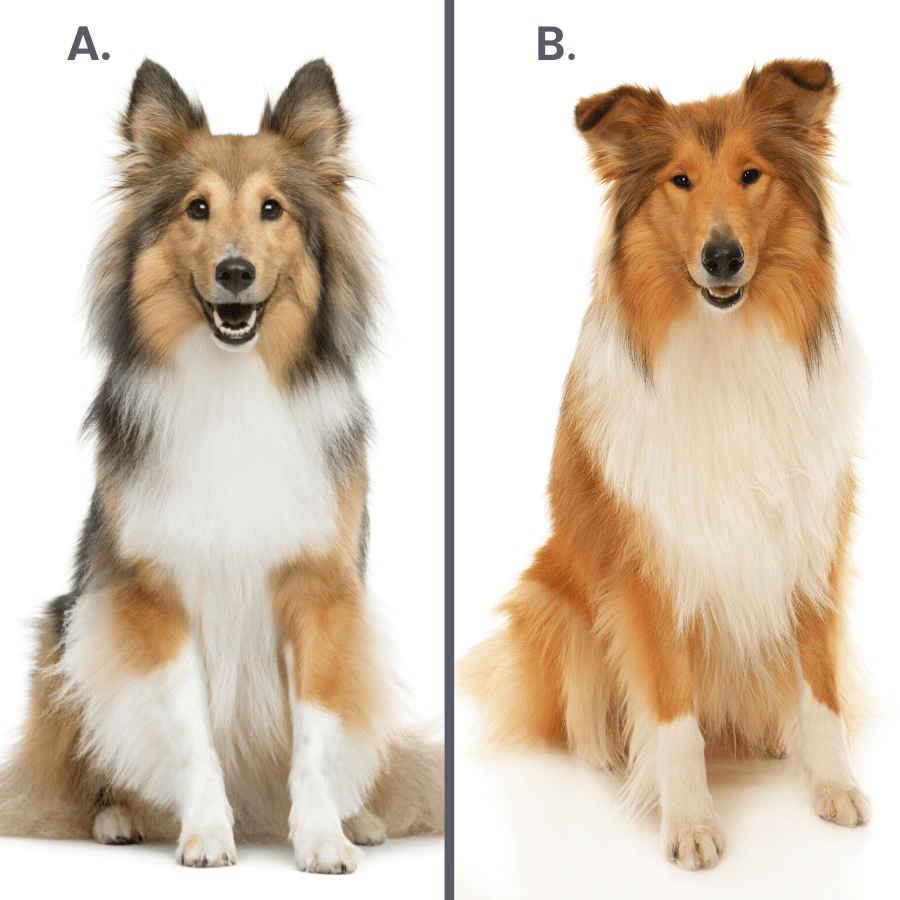 shetland sheepdog and rough collie on white background