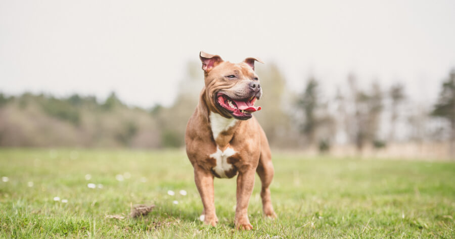 The Staffordshire Bull Terrier dog