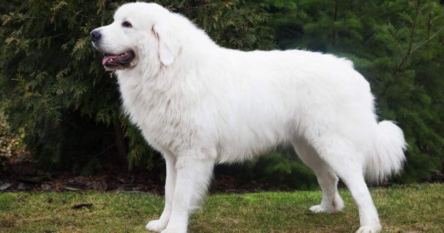 The Polish Tatra Sheepdog dog