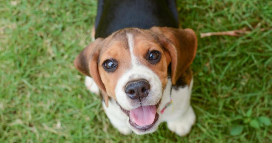 Beagle dog: black and brown dog