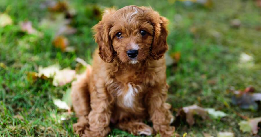 The Cavapoo puppy in a garden