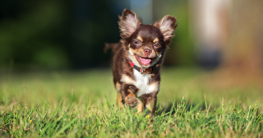 The Chihuahua dog