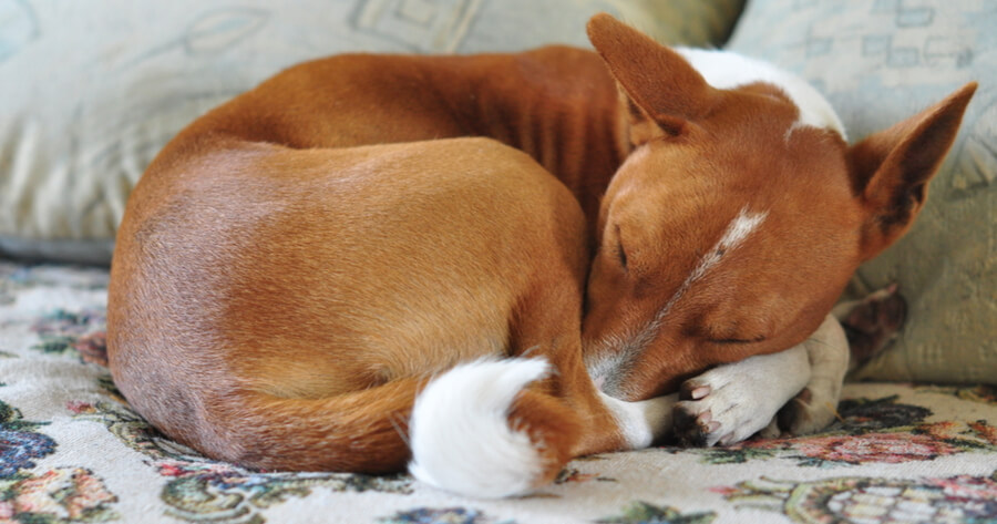 Portuguese dog sleeping a ball