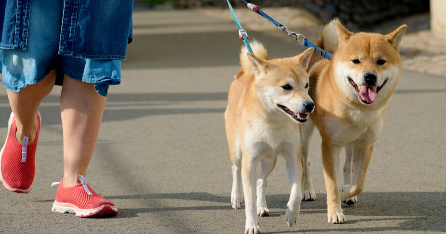 two shibas walking on the lead