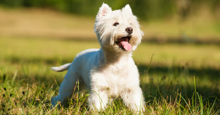 The West Highland White Terrier or Westie dog