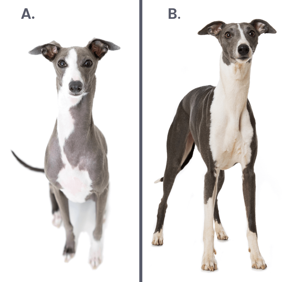 grey and white italian greyhound and whippet on white background