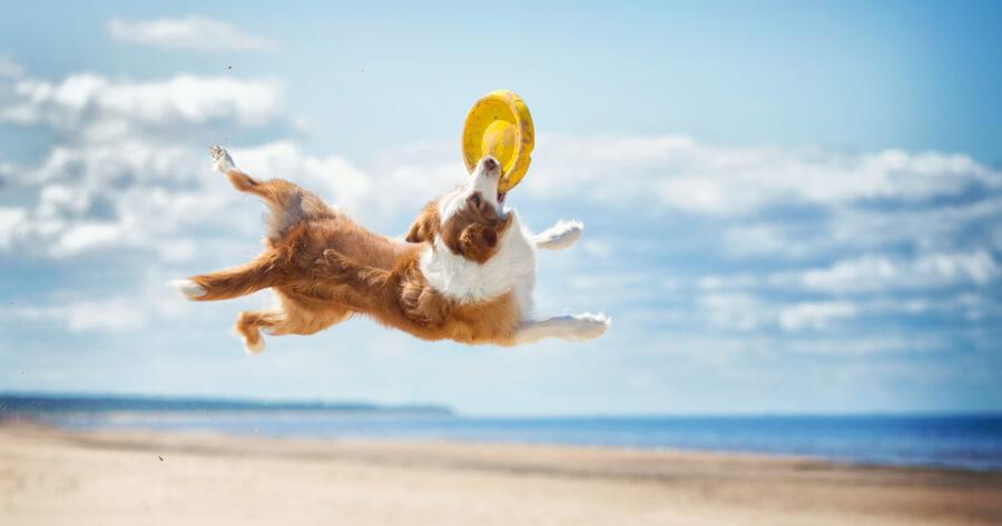 Dog jumping catching freezbee