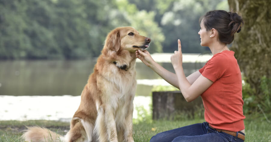 Golden retriever getting a lesson with animal behaviourist