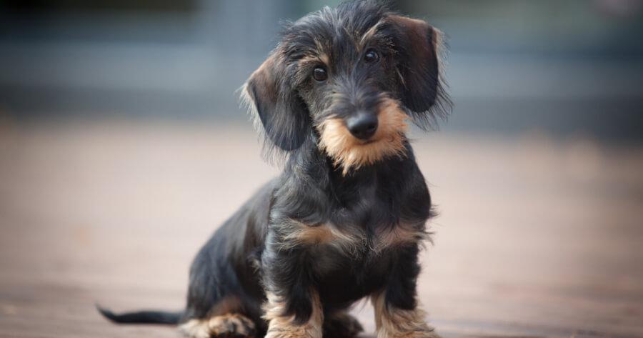 The Dachshund dog