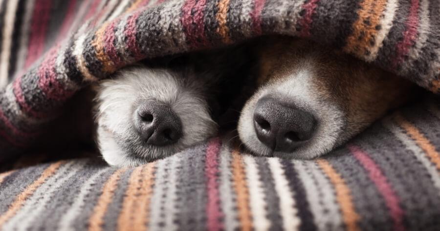 Two dog nose under a blanket
