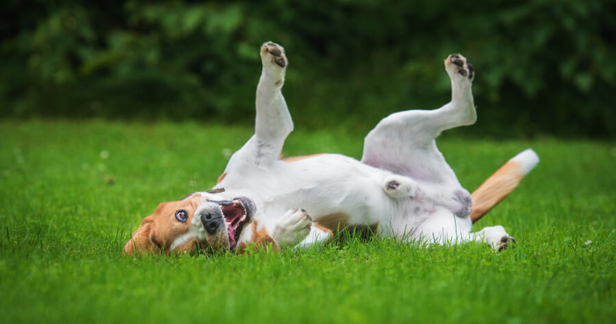 Dog rolling over in grass