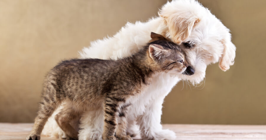 Kitten and Bichon dog cuddling