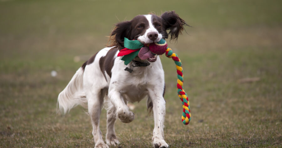 English Spaniel playing with a toy