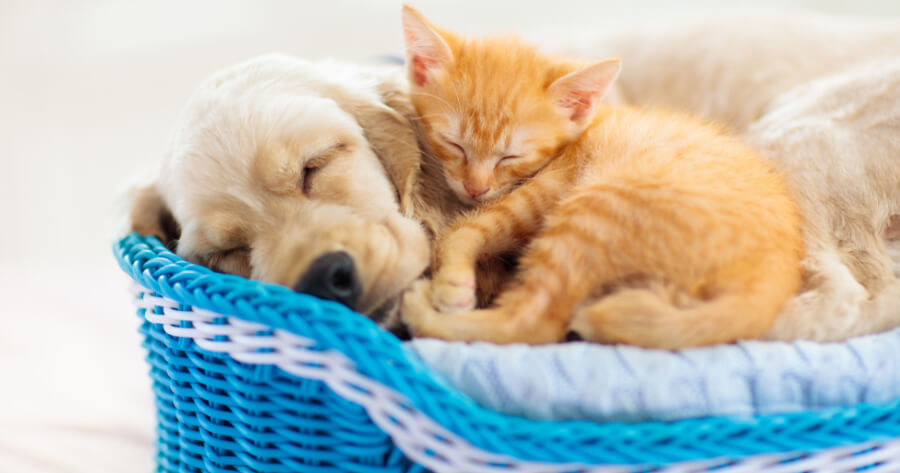 Kitten and puppy napping together