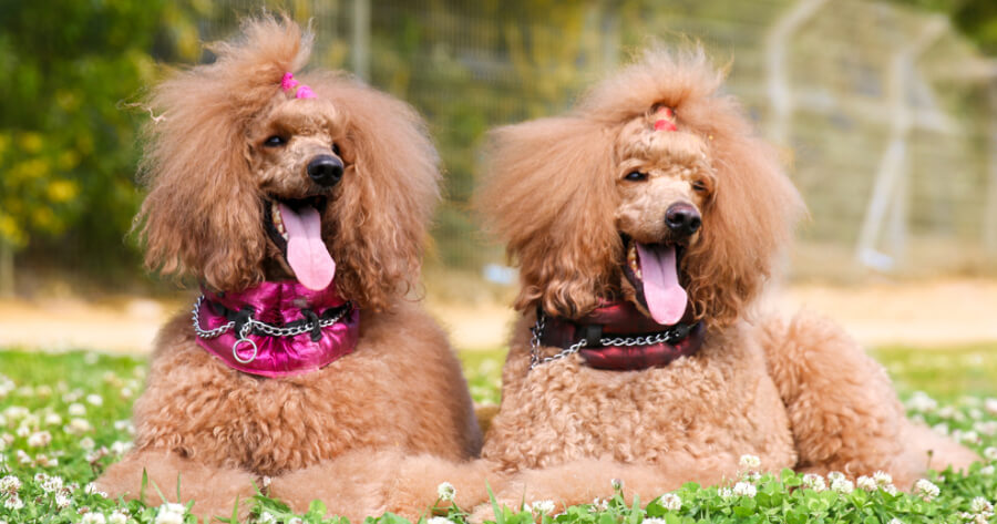 The Poodle dog