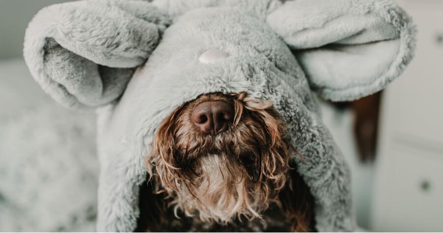 spanish water dog with hood on its head