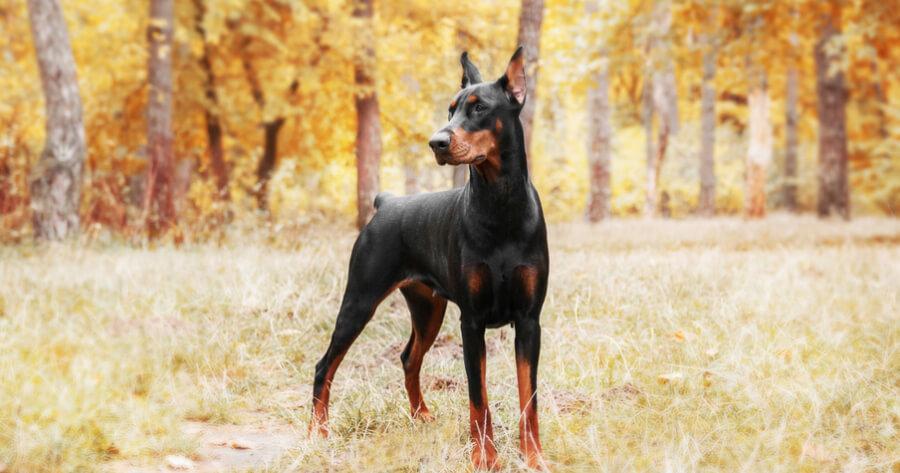 The Dobermann: black and brown dog