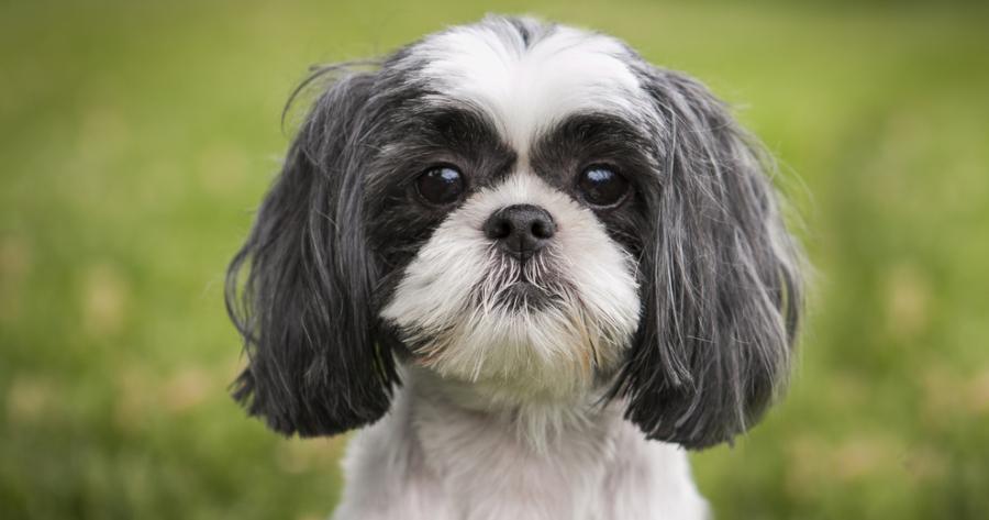 The Shi Tzu dog