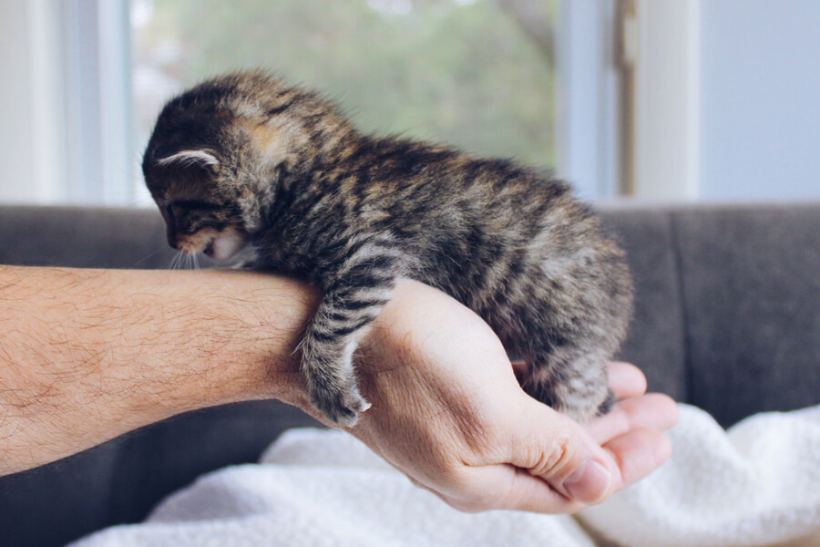 Baby kitten in a human's hand