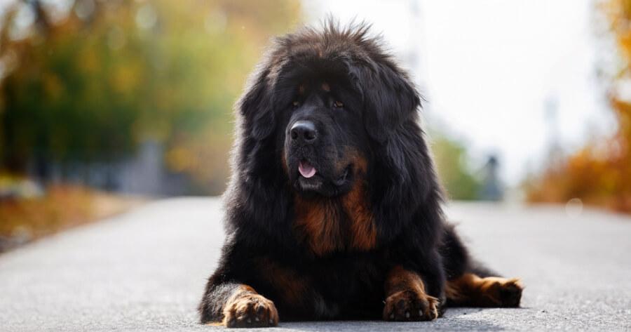 The Tibetan Mastiff dog