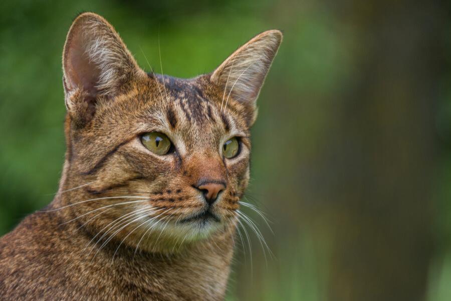 Ashera GD Katze