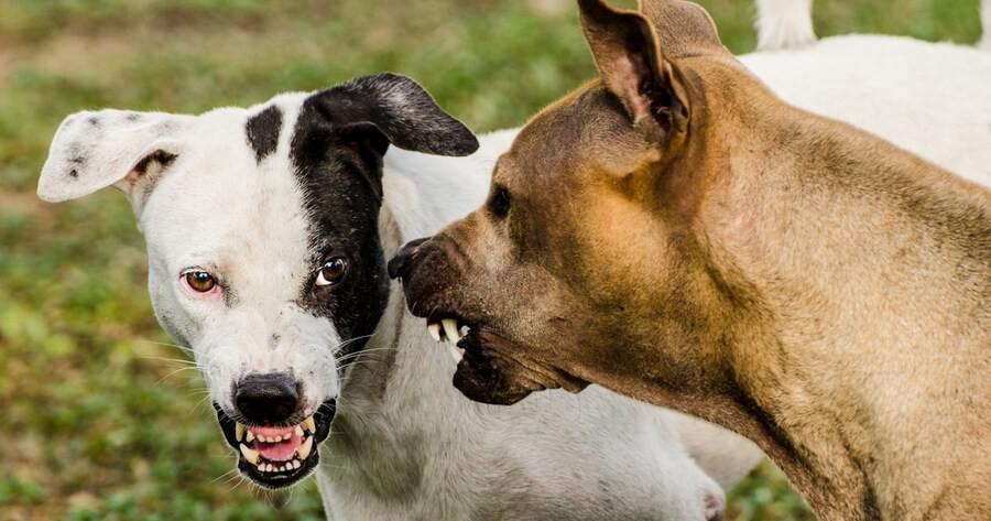 Hunde knurren sich an