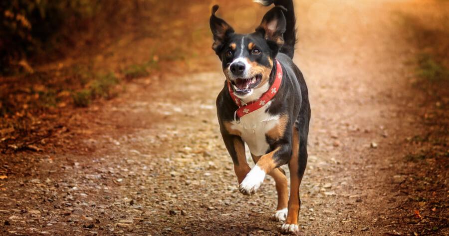 Schweizer Hunderasse Appenzeller Sennenhund