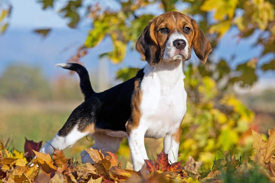 Beagle Schlappohren