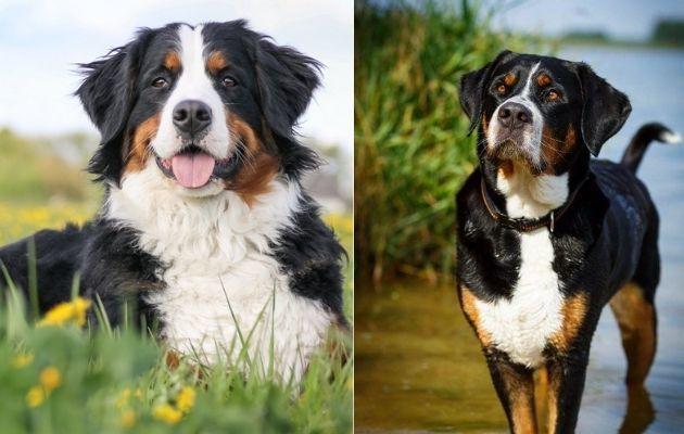 Berner Sennenhund oder Großer Schweizer Sennenhund