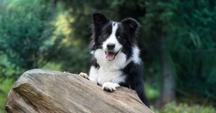 Intelligente Hunderasse Border Collie
