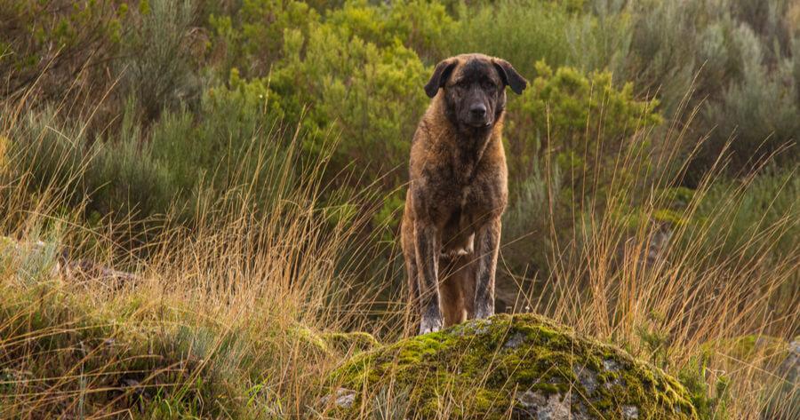 Portugiesische Hunderassen Cão de Castro Laboreiro