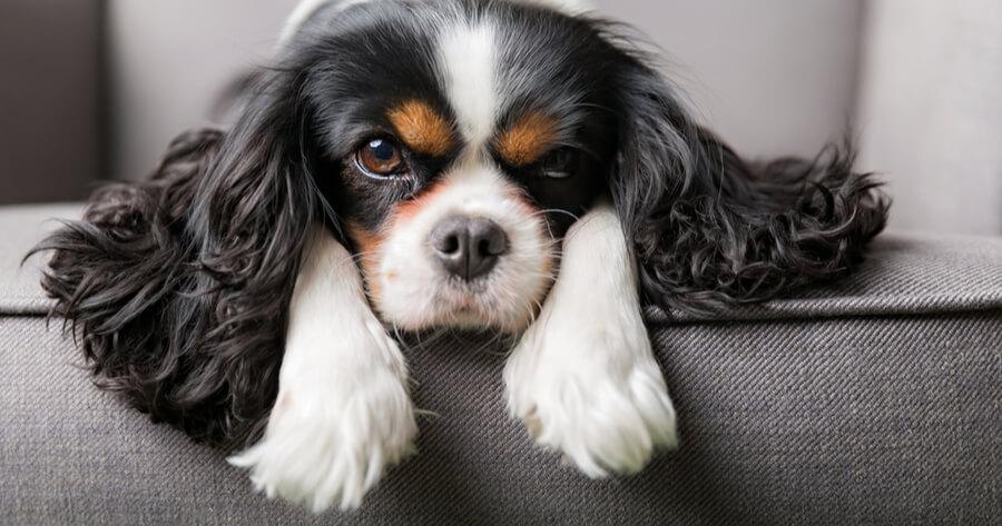 Pflegeleichte Hunde Cavalier King Charles Spaniel