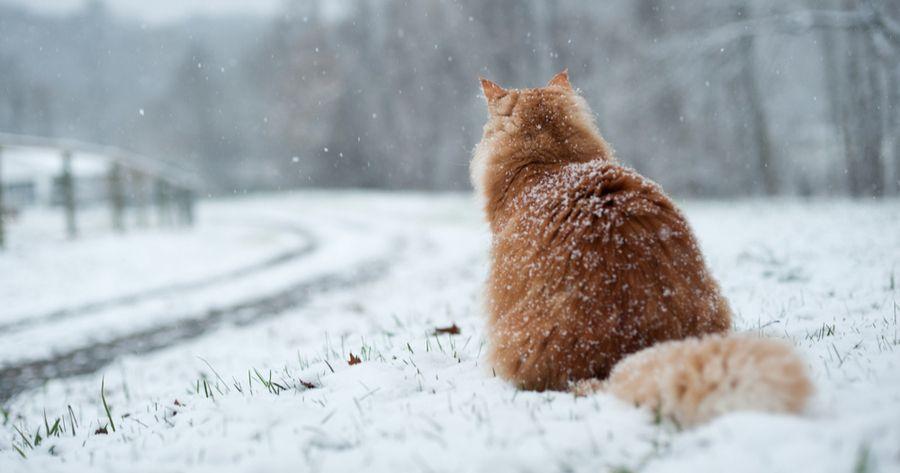 Rote Katze von hinten im Schnee