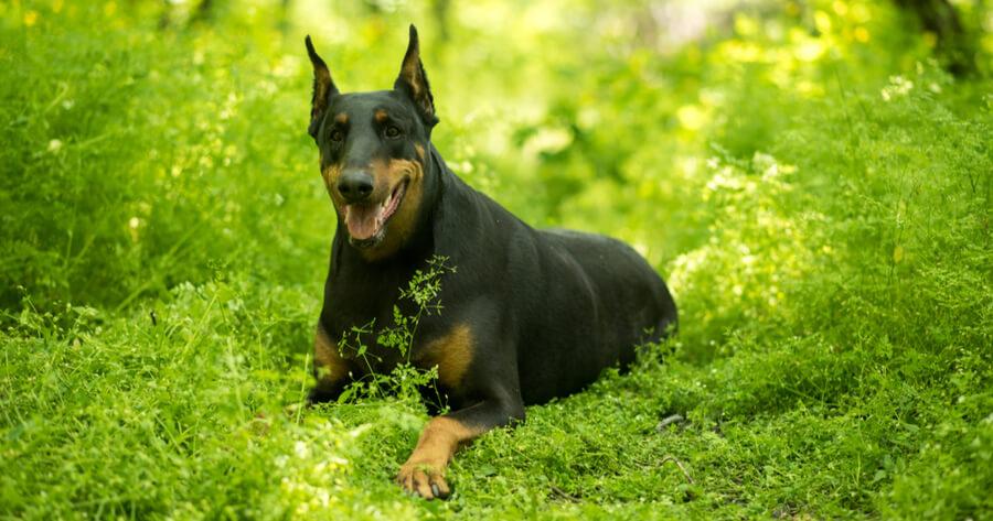 Rottweiler Mischling Dobermann
