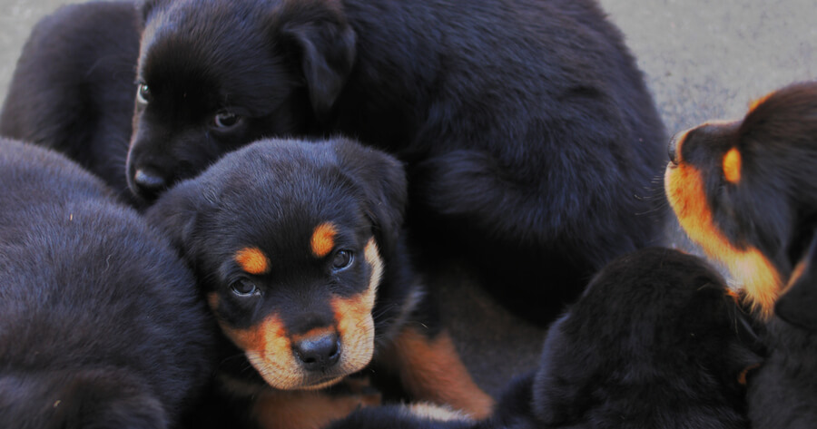 Rottweiler Mischling Labrador