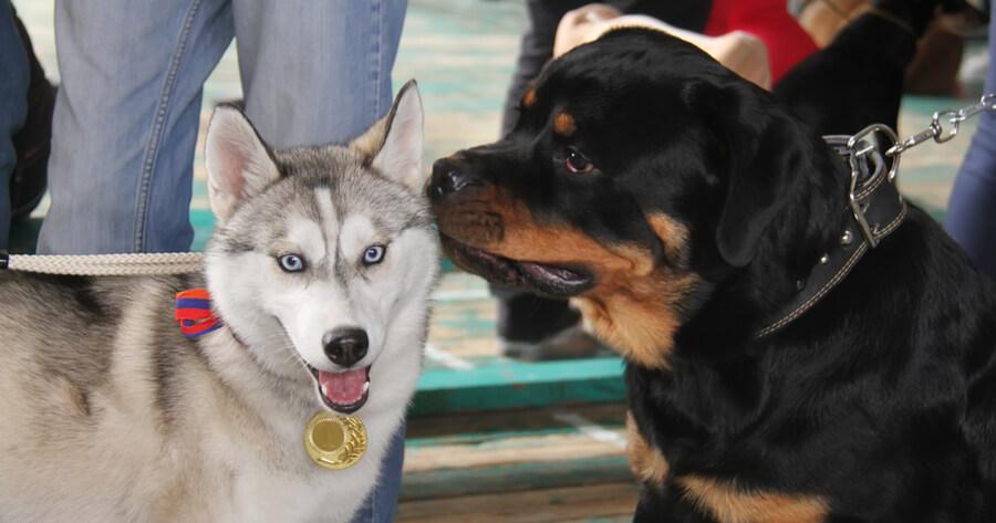 Rottweiler Mischling Husky