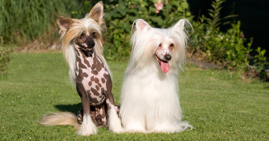 Chinesische Schopfhunde