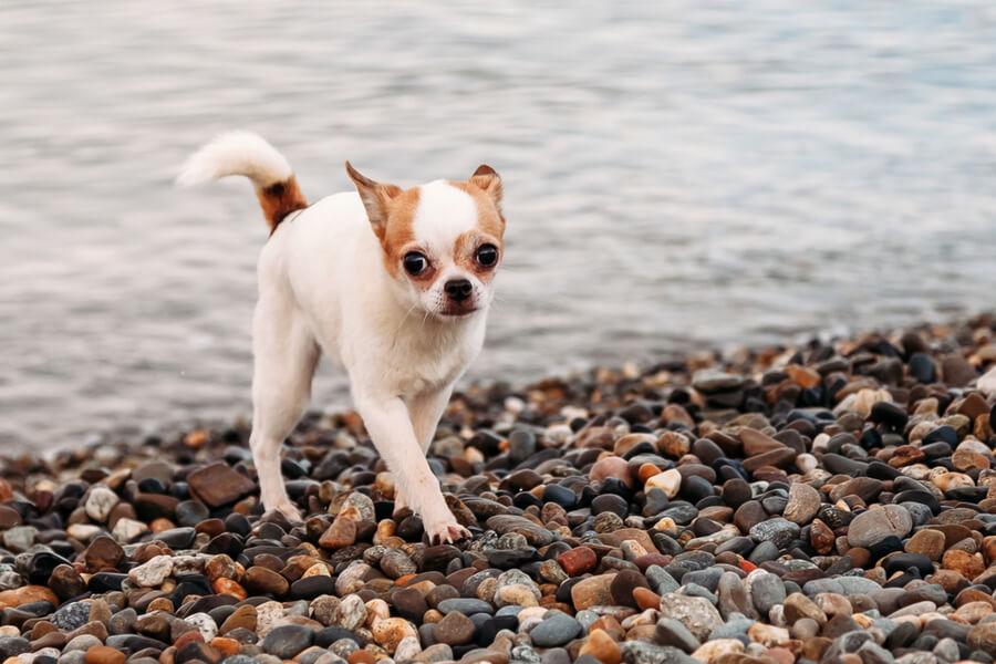 Chihuahua am Wasser