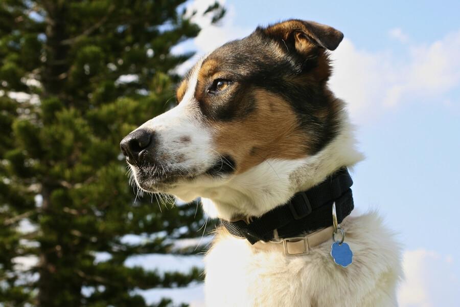 Schäferhund Australian Shepherd Mix