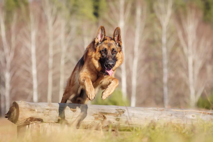 Deutscher Schäferhund ist sportlich