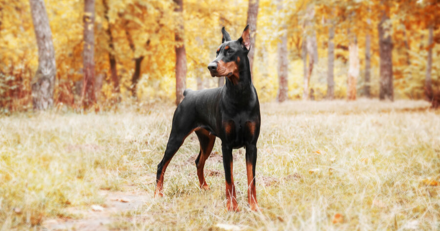 Intelligente Hunderasse Dobermann